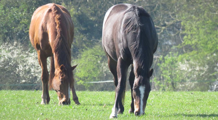 a-HORSES-IN-SUNNY-FIELD--resaved